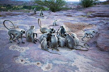 Southern plains grey langur / Hanuman langurs (Semnopithecus dussumieri) drinking from rainwater in a puddle . Jodhpur, Rajasthan, India. March.