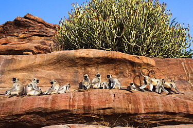 Southern plains grey langur / Hanuman langur (Semnopithecus dussumieri) group resting on rocky ledge. Jodhpur, Rajasthan, India. March.