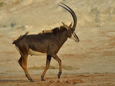 Young Sable antelope (Hippotragus niger) bull trotting, Chobe River, Botswana, October.