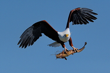 African fish eagle (Haliaeetus vocifer) in flight with Catfish in claws, Chobe River, Botswana.