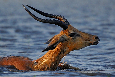 Young Impala (Aepyceros melampus) ram on the brink of disappearing under the water due to a crocodile attack, Chobe River, Botswana.