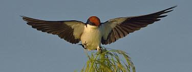 Wired-tailed swallow (Hirundo smithii) landing on plume of reeds, Chobe River, Botswana, April.
