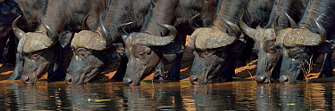 Six African / Cape buffalos (Syncerus caffer) drinking, Chobe River, Botswana, April.