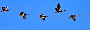 Five Spur-winged geese (Plectropterus gambensis ) in formation flight, Chobe River, Botswana, April.