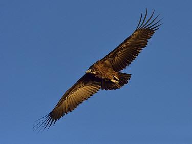 Hooded vulture (Necrosyrtes monachus) in flight, Chobe River, Botswana, April, Endangered species.