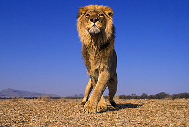 Lion  (Panthera Leo) male, low angle shot, South Africa. Taken on location for 'Pride' tv series.