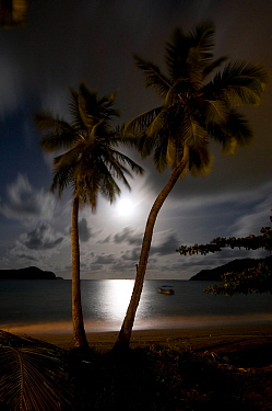 Coconut palms (Cocos nucifera) with the moon rising, Tobago, Caribbean.