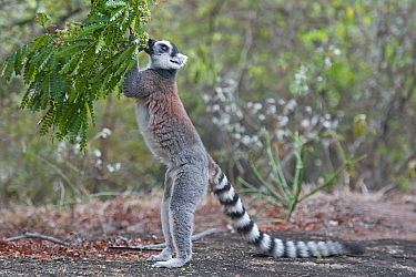 Ring-tailed Lemur (Lemur catta) Anjaha community conservation site, Ambalavao, Madagascar
