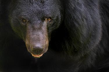 Asiatic black / Moon bear (Ursus thibetanus) portrait, captive