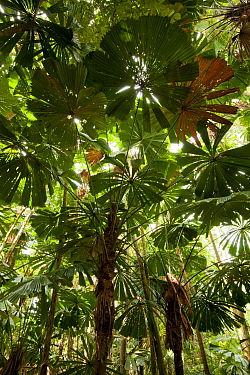 Licuala palms (Licuala ramsayi) with light streaming through the canopy, Daintree, Queensland, Australia