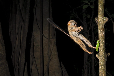 Spectral Tarsier (Tarsius tarsier) jumping on a grasshopper, Tangkoko National Park, North Sulawesi, Indonesia
