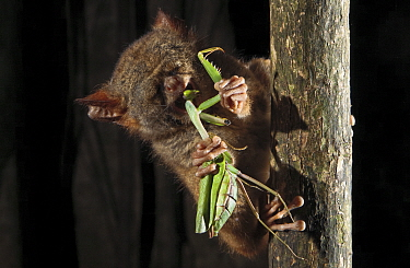 Spectral Tarsier (Tarsius tarsier) feeding on preying mantis in strangler fig tree, Tangkoko National Park, North Sulawesi, Indonesia