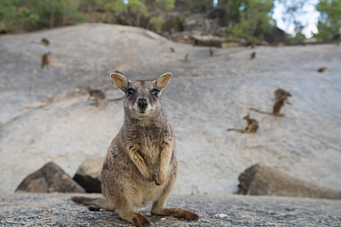 Mareeba rock-wallaby (Petrogale mareeba) Queensland, Australia
