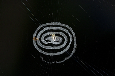 Beautifully spun spider web, with spiral stabilimentum, Tanjung Puting National Park, Borneo, Central Kalimantan, Indonesia