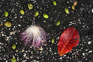 Seeds and flower from large tropical almond, sea almond, beach almond (Terminalia catappa) against black sand, Sulawesi beach, Indonesia