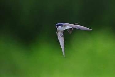 House Martin (Delichon urbicum) in flight. Jogevamaa county, Estonia, July.