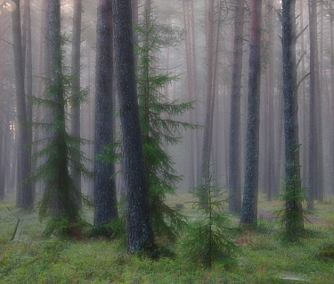 Foggy morning in wetland forest in Estonia. August 2011.