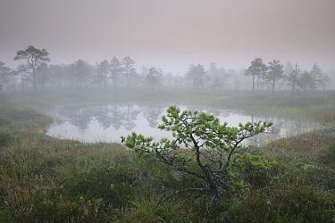 Small pine  tree growing in bog, just before sunrise. Estonia August 2011.