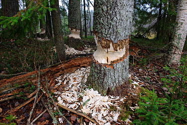 Trees that have been gnawed by Beavers (Castor fiber)  Southern Estonia, October.