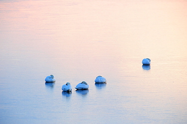 Mute Swans (Cygnus olor) resting on ice after sunset. Baltic Sea, northern Estonia, March.