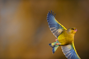 European Greenfinch (Carduelis chloris) in flight. Southern Estonia, December.