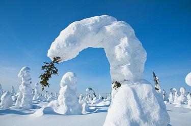 Conifer tree bent under the weight of snow, Kuntivaara, Finland. Photograph taken on location for BBC Frozen Planet series, March 2010
