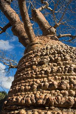 Baobab tree (Adansonia rubrostipa)  Tsimanampetsotsa National Park, Madagascar.  Photograph taken on location for BBC 'Wild Madagascar' Series, August 2009.
