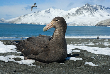 Southern Giant Petrel (Macronectes giganteus), St Andrew's Bay, South Georgia. Photograph taken on location for the BBC Frozen Planet series, October 2009.