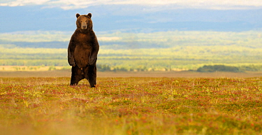Kamchatka Brown Bear (Ursus arctos beringianus) stands on its back legs to more easily determine the source of an unfamiliar sound. Kronotsky Zapovednik Nature Reserve, Kamchatka Peninsula, Russian Fa...