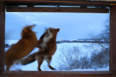 Red Foxes (Vulpes vulpes) fighting outside ranger cabin window. Kronotsky Zapovednik Nature Reserve, Kamchatka Peninsula, Russian Far East, February.