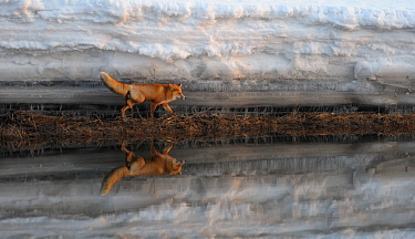 Red Fox (Vulpes vulpes) and snow bank reflected in river. Kronotsky Zapovednik Nature Reserve, Kamchatka Peninsula, Russian Far East, February.