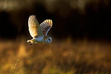 Barn Owl (Tyto alba) in flight. UK, Europe.