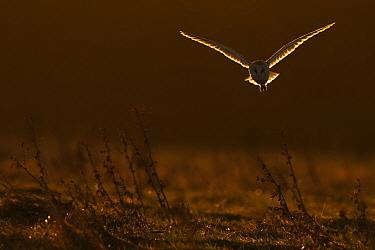 Barn Owl (Tyto alba) in flight in dawn light. UK, Europe.