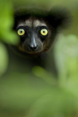 Indri (Indri indri) portrait. Madagascar.