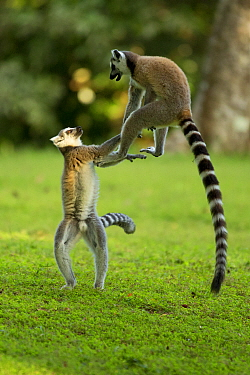 Ringtail Lemurs (Lemur catta) playing. Madagascar.