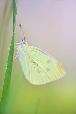 Large white butterfly (Pieris brassicae), Vallee de l'Eure (Eure Valley), Eure-et-Loir, France, August