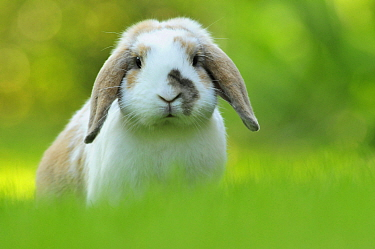 Portrait of brown and white coated Holland lop-eared domestic rabbit (Oryctolagus cuniculus domesticus), Lorraine, France, July