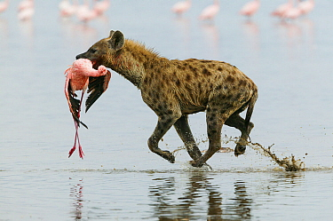 Spotted hyena (Crocuta crocuta) with Lesser flamingo (Phoenicopterus minor) it has just caught, Lake Nakuru, Kenya