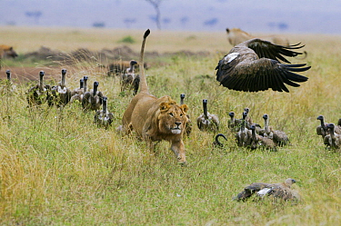 Lion (Panthera leo) male chasing  White backed vultures (Gyps africanus) off its prey, Masai-Mara Game Reserve, Kenya. Vulnerable species.