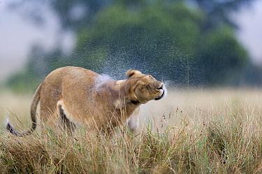 Lioness (Panthera leo) shaking water off after the rain, Masai-Mara Game Reserve, Kenya
