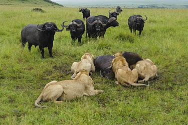 Lion (Panthera leo) males feeding on buffalo (Syncerus caffer) with other buffalos watching. Masai Mara, Kenya, Vulnerable species.