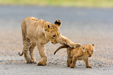Lion (Panthera leo) older cub playing with a younger one, Masai-Mara Game Reserve, Kenya. Vulnerable species.