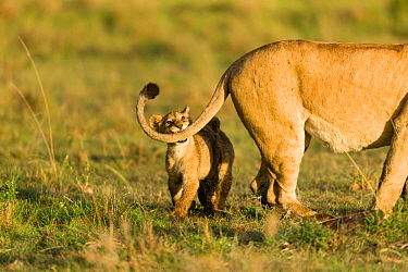 Lion(Panthera leo) cub playing with its mothers tail, Masai-Mara Game Reserve, Kenya. Vulnerable species.