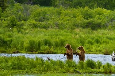 Grizzly bears (Ursus arctos horribilis) looking for salmon, Brooks river, Katmai national park, Alaska, North America,