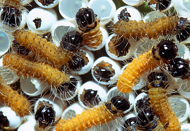Mopane moth (Imbrasia belina) eggs hatching, Tuli Block, Botswana