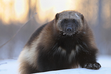 Wolverine (Gulo gulo) portrait. Kronotsky Zapovednik Nature Reserve, Kamchatka Peninsula, Russian Far East, February.
