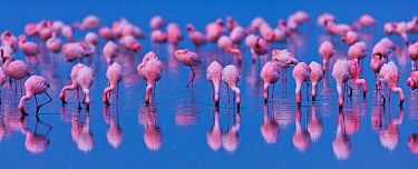 Lesser flamingo (Phoeniconaias minor) flock in lake Nakuru, Kenya