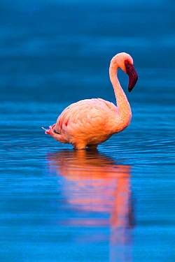 Lesser flamingo (Phoeniconaias minor) portrait, Lake Bogoria, Rift valley, Kenya, Africa