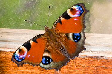 Peacock butterfly (Inachis io) resting against a wood shed window, Orvieto, Italy, June