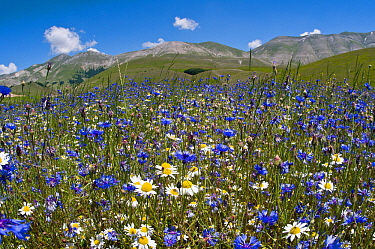 Cornflowers (Centaurea cyanus) and Mayweed (Anthemis) on the Piano Grande, Umbria, Italy, June 2010